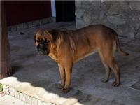 Dogue de Bordeaux Havanna